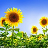 Wholesale Sunflower Seeds Wholesale - 20 French Dwarf Sunflower Seeds--easy growing and beautiful, make your happier garden plant Flower Seeds Free Shipping