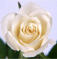 pro blumen großhandel-2017 heißer Verkauf Weiße Rose Rote Rose Samen * 80 Stücke Samen Pro Paket * Blumensamen Für Hausgarten Pflanzen M13