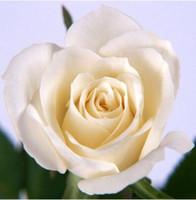 çiçek tohumları paketleri toptan satış-2017 Sıcak Satış Beyaz Gül Kırmızı Gül Tohumları * Paket Başına 80 Parça Tohumları * Çiçek Tohumları Ev Bahçe Bitkileri Için M13