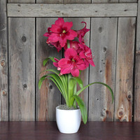Wholesale Potted Amaryllis Bulbs Gift Pink Amaryllis Vera in a Classic White Ceramic Vase