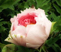 Wholesale Peony Seeds Pink - Heirloom Light Pink Rose Red Tree Peony 'Qiu Ball' Flower Seeds, Professional Pack, 5 Seeds   Pack, Strong Fragrant Flower NF741