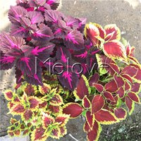 Wholesale Growing Perennials - Mix Coleus 100 Pcs Seeds Attractive Perennial Foliage Flant Pot Container Yard Landscape Shade Border Easy to Grow from Seeds