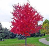 ingrosso piantare alberi di acero-Trasporto libero 30 semi / pack di bonsai americano acero rosso semi semi grandi piante giardino di casa semi di fiori