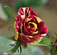 ingrosso colori del giardino rosa-Semi francesi della rosa di trasporto libero * 80 pezzi semi per pacchetto * Nuovo arrivo tre colori Ombre piante da giardino di Charme