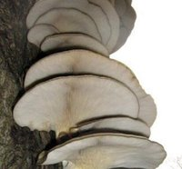 oysters mushrooms - 300Pcs a Set Grey Oyster Mushroom Rare HOT SEED Home Garden Reasonable Choice Gift For Your Friend