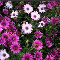 Shop mix perennial flower seeds uk mix perennial flower seeds free perennial 15pcs transvaal daisy flower seeds south african marigold mixed seeds mightylinksfo