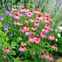 Wholesale Easy Start - Echinacea Coneflower Flower 400 Seeds Perennial Flower Rare Variety Easy to Start from Seeds Long Bloom Period