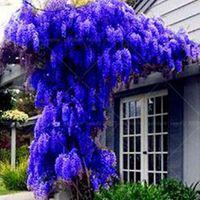 güzel mavi çiçekler toptan satış-10 tohum / paket. SıCAK SATıŞ YENI MAVI Wisteria Ağacı Tohumları Kapalı Süs Bitkileri Tohumları Wisteria Çiçek Tohumları, güzel gardon