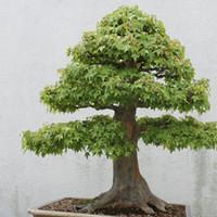 ingrosso acciughe d'acero-30 PCS American Maple Seeds Bonsai Very Nice Green Maple Seeds Bonsai Tree Houseplant