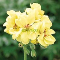 frei mehrjährige samen großhandel-10 stücke Seltene Geranium Seeds Custard Creme Pelargonium Mehrjährige Blumensamen Hardy Pflanze Bonsai Topfpflanze Kostenloser Versand
