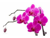 Tree Seeds species butterflies - 20 seeds pack butterfly orchid species Phalaenopsis orchid seed when flowering potted Phalaenopsis