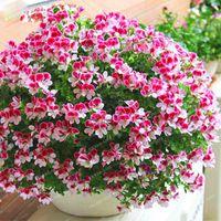 Wholesale geranium flower seeds resale online - Pink Univalve Geranium Plant Easy Grow Potted Flower Pelargonium for Indoor Rooms Seeds bonsai home Organic