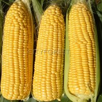 Wholesale Sweet Yellow Corn Seeds Light Yellow Sweet Waxy Corn Non GMO Easy growing DIY Home Garden Bonsai Container Vegetable