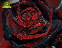 semillas de rosas gratis al por mayor-True Blood Black Rose 200PCS Rare Rose seeds Semillas de flores para jardín Bonsai Planting Envío gratis Semillas de rosa BLACK ROSE