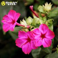 Wholesale Wholesale Jasmine Flowers - 30 pcs bag Rare Hot Pink Jasmine Seeds Fragrant Plant Mirabilis Jasmine Seeds Bonsai Potted Plants for Home & Garden