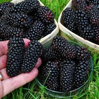 Wholesale 200pcs real quality blackberry fruit seeds rare fruit seeds for home garden planting NO GMO grow fast