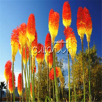 Wholesale Easy Torch - Kniphofia Torch Lily Flower Red Hot Poker Kniphofia uvaria 50 Seeds  Bag Easy to Grow Excellent Perennial Flower