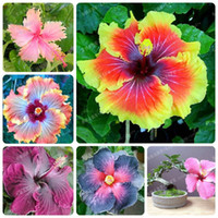 Wholesale Hibiscus Plant Buy Cheap Hibiscus Plant 2019 On Sale In
