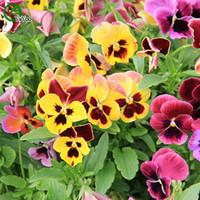sementes de pansy venda por atacado-Multicolorido Pansy sementes Bonsai Flor Sementes de Plantas Muito Perfumado 50 Partículas / lote g012
