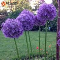 ingrosso vasi da giardino giganti-Rare Purple Giant Allium Semi di fiori Terrazza Giardino Perenne Vaso di fiori Semi di cipolla 30 PZ