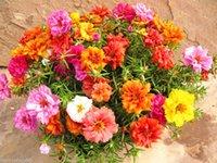 renk tohumunu karıştır toptan satış-100 Karışık Renk Moss-gül Semizotu Çift Çiçek Tohumları (Portulaca grandiflora)