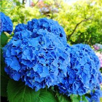 Wholesale Wholesale Flower Pots China - 20pcs bag Red Hydrangea Seed Mixed Hydrangea Flower seeds china hydrangea Bonsai Viburnum potted plant for home & garden