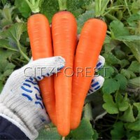 Wholesale winter seeds - Carrot Vegetable Long Orange Red 500 Seeds Heirloom Easy Home-grown Vegetable Seed for Hardy Autumn Winter Popular Vegetable High Yield