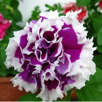 Wholesale Annual Plants - Potted Balcony Petunia Petals Flower Seeds Annuals Bonsai Flowering Plants True Seed 100 Particles   lot