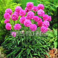 Wholesale Sea Beds - 100 Pcs Armeria maritima Seeds Sea Thrift Flower Mix Color Good for Cut flowers, Gorgeous Evergreen Perennial Container Flower Beds