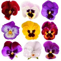 Wholesale Giant Flower Decoration - Giant Pansy Viola Flower 100 Seeds Mix Color Hardy Easy to Grow Great for DIY Home Garden Bonsai Container Landscape Decoration