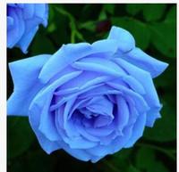 ingrosso semi di trasporto libero-Spedizione gratuita blu incantatrice semi di rosa * 10 pezzi semi per confezione * nuovo arrivo Ombre piante da giardino di charme