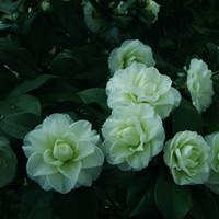 ingrosso fiori da giardino comuni-A Pack 100 Pcs Tansei Camellia Seeds Piante in vaso Giardino di fiori Semi di piante ornamentali in vaso Semi di camelia comuni