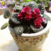 violette samen großhandel-50 STÜCKE Rot Violet Samen Garten Pflanzen Blumensamen Topf Violet Mehrjährige Kraut Matthiola Incana Samen