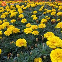 Wholesale Marigolds Flowers - Maidenhair Yellow Seeds Flower Seeds Potted Herb Garden Marigold Chrysanthemum Bonsai Seeds 50 Pieces   lot