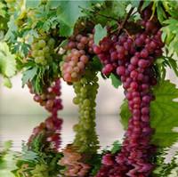 ingrosso vasi da giardino giganti-Rare specie semi d'uva uva rossa gigante semi di Bonsai giardino domestico di DIY frutta albero da frutto pianta in vaso 30 pz e41