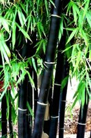 Bamboo seeds ornamental bamboo plants - BELLFARM Rare Black Bamboo Seeds Professional Pack Seeds Pack Super Black Stem Ornamental Garden Plant NF678