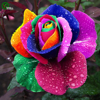 rainbow rose seeds al por mayor-50 Semillas Rara Holanda Rainbow Rose semillas Flores Lover coloridas plantas de jardín Home F056