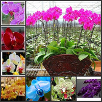 Wholesale Phalaenopsis Moth Orchid Flower Seeds Bonsai plants Seeds potted plants for home garden flower planters