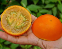 semillas de solanum al por mayor-Naranja Orange Naranjilla Lulo Solanum Quitoense Fruit Seeds, Pack Profesional, 100 Semillas / Paquete, Edible E3342