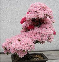 ingrosso bonsai di fiore di ciliegio giapponese-Semi di sakura giapponese albero bonsai. raro fiore di ciliegio giapponese semi di fiori in bonsai, rosa semi di Prunus Serrulata15 / confezione