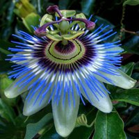 packing fruit - Heirloom Purple Passion Fruits Professional Pack Seeds passiflora edulis sour sweet egg fruit nutritious Granadilla E4247
