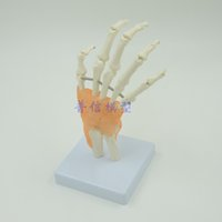Wholesale DongYun brand Human hand model hand skeleton model with ligament Medical Science teaching supplies