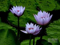Wholesale Lotus Flowers Water - 5pcs MIX COLORSLarge Beautiful lotus seeds flower water lily water fish tank features China rare flowers bonsai for garden