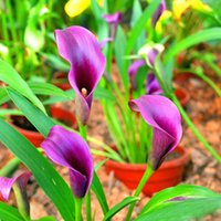 Wholesale Flower Imports - Sale! Calla Lily Seed Imported From Holland,Calla Lily Seedlings -Rare Plants Flowers Home Gardening DIY Garden Supplies 20PCS