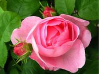 ingrosso bonsai china-wholesale50 Cina Rare Pink Rose Seeds Fiore semi bonsai