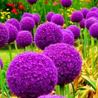 посадка лука оптовых-Гигантские луковые семена Allium Giganteum цветок семена цветок бонсай завод DIY Главная сад завод бесплатная доставка