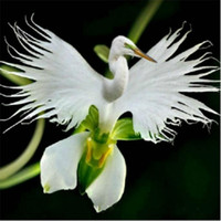 Wholesale japanese garden flowers for sale - Group buy 100 pack Japanese Radiata Seeds White Egret Orchid Seeds World s Rare Orchid Species White Baison Flowers Orchidee Garden
