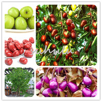 Wholesale Honey Homes - 10 Pcs Bag Jujube Seeds Taiwan Sweet Big Honey Jujube For Home Garden Fruit Tree For Garden Supplies Diy Home Garden Tree Bonsai Plant
