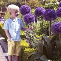 ingrosso semi ornamentali-100pcs Purple Giant Allium Giganteum Beautiful Flower Seeds Giardino pianta regalo fiori-seme ornamentale-pianta