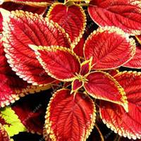 am schnellsten wachsende pflanzen großhandel-200 PcS Indian Coleus Samen Rot Gelb Günstige Exotische Wild Lebende Organische Krautige Mehrjährige Schnellwachsende Pflanzen